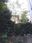 keyaki15.jpg